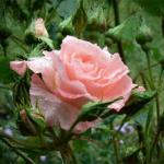 Сад без розы. Притча о садовнике