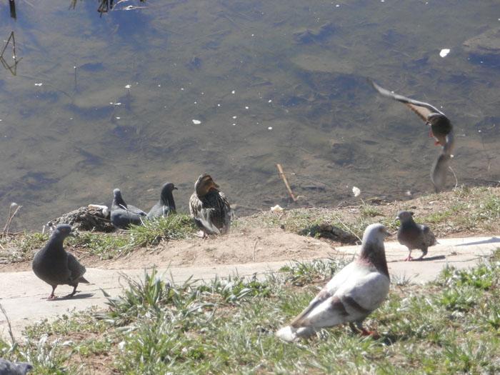 птицы весной, водоплавающие птицы весной