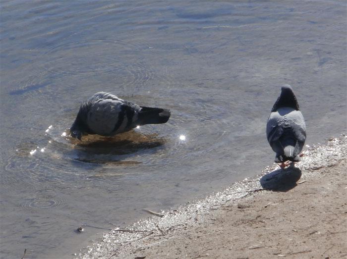 Голуби пьют воду