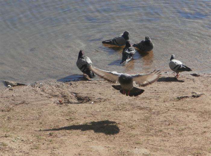 Голуби купаются