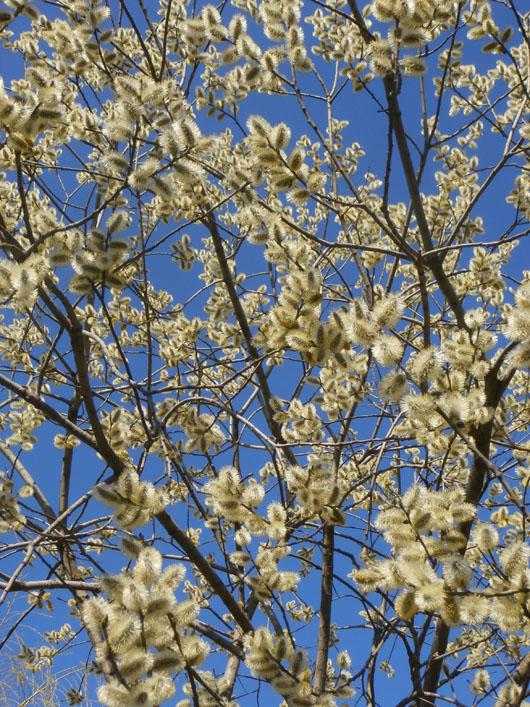 верба, вербы весной, котики, верба фото, цветет верба