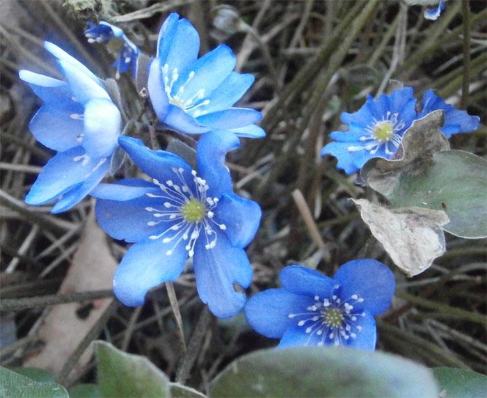 Пролески, подснежники, синие цветы, голубой цветок, весенний цветок